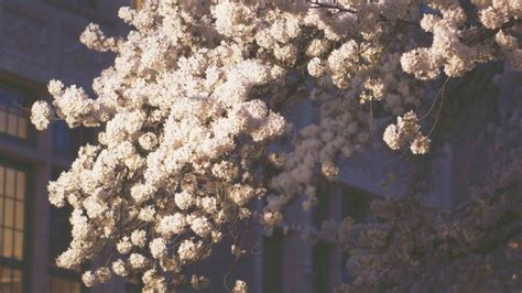cherry blossoms aesthetic pitsel