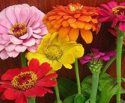 Zinnia Fair State Mixed Colors Flower Vargo