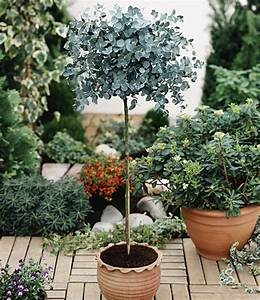 Winterharte Bäumchen Für Balkon : eukalyptus b umchen pflanzen winterhart f r den balkon oder die terasse pinterest ~ Buech-reservation.com Haus und Dekorationen