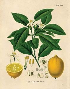 Vintage Lemon Chart Citrus Print  Botanical Vintage