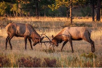 Elk Fighting Bull Mountain Rocky Colorado Fine