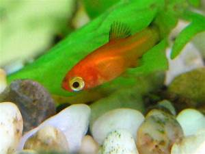 Fish Food : 22 Cute red platy babies