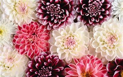 Floral Pretty Backgrounds Background Pink Dahlia Windows