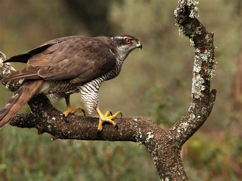 northern goshawk accipiter gentilis desktop wallpaper