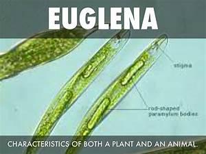 Euglena By Tiaunasw0502
