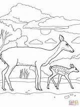 Deer Coloring Pages Tailed Mother Tail Printable Doe Bucks Animal Fawn Adult Supercoloring Deers Buck Drawing Animals Elephant Moose Nature sketch template