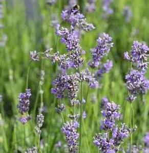 Echter Lavendel Kaufen : wandbild lavendel g nstig online kaufen bei yatego ~ Eleganceandgraceweddings.com Haus und Dekorationen