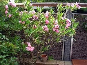 Oleander Hat Gelbe Blätter : palmen und co pilzbehandlung ~ Lizthompson.info Haus und Dekorationen