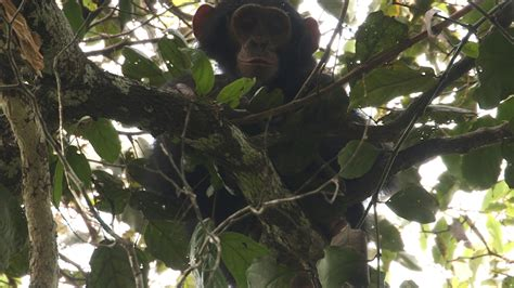 In Search of the Mystery Apes of Bili Forest - NBC News