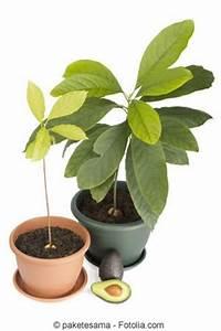 Avocado Pflanze Pflege : avocado avocadobaum z chten pflanzen und pflege ~ Lizthompson.info Haus und Dekorationen