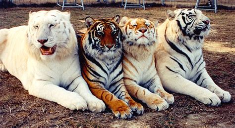 Welcome Animal Planet Best Tigers List The Many