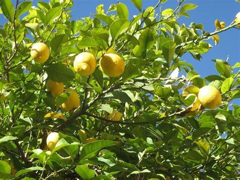 Concime Limoni In Vaso by Concimazione Limoni In Vaso Concime Come Concimare