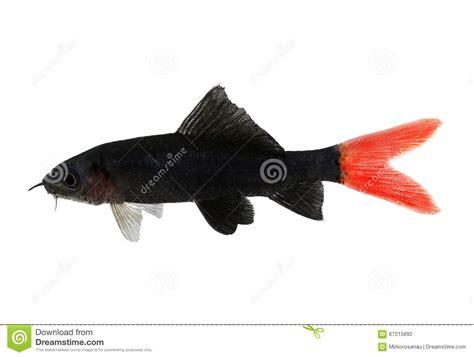 poisson chat d aquarium poissons bicolores d aquarium d epalzeorhynchos de poisson chat de requin de queue du feu