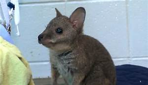 Cute of the Day: Baby Wallaby - The World of Nardio