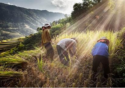 Vietnam Sawah Orang Pertanian Pegunungan Tanaman Rumput