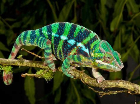 Rainbow Panther Chameleon, Fucifer Pardalis, Native To. Doctor Office Signs Of Stroke. Group Signs. Old Movie Theatre Signs. Constuction Signs Of Stroke. Undefined Signs Of Stroke. Health Awareness Signs. Pna Signs. Dumps Signs