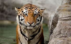 tiger photos | Desktop Backgrounds for Free HD Wallpaper ...
