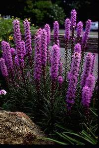 Liatris Spicata Kobold : liatris gayfeather on pinterest perennials spikes and plants ~ Watch28wear.com Haus und Dekorationen