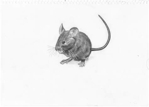 mouse drawing  adonabauer  deviantart