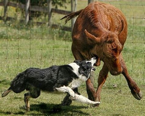 border collie working cattle   pro working dogs