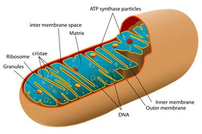 Mitochondria Vs Chloroplast  Difference Between Mitochondria And Chloroplast