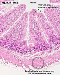 Blue Histology - Muscle
