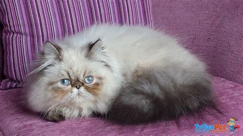accoppiamento gatti persiani gatti persiani colourpoint maschi interi 10 mesi in