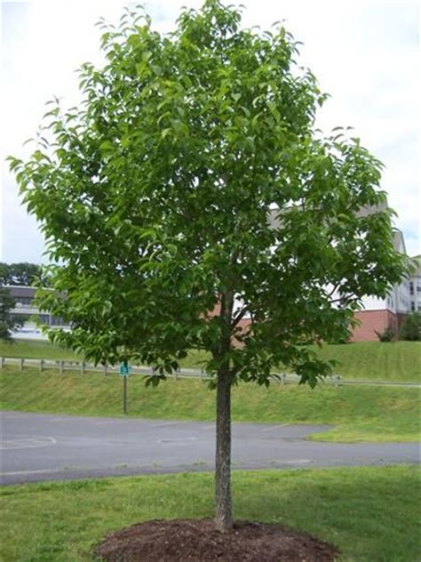 Hardy Rubber Tree  Just A Good Shade Tree, Stays Green