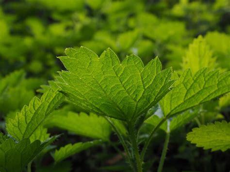 cuisiner l ortie cuisiner les plantes sauvages le magazine de prêt à pousser