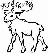 Moose Coloring Colorir Alce Desenhos Imprimir Ausmalbilder Hirsch Malvorlagen Alces Tiere Desenho Dickem Fell Head Drawing Elch Animal Malvorlage Animais sketch template