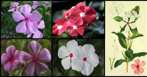 cural impatance of rosy periwinkle anti cancer properties and other health benefits of madagascar periwinkle chichirica or