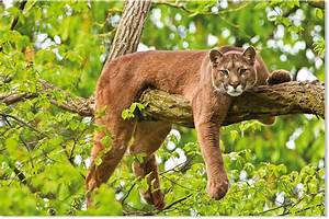 Cougars fear humans, run away from recorded voices ...