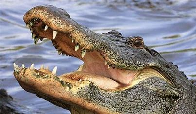 Image result for pics of aan alligator