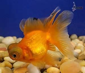 Red Black Butterfly Tail Goldfish