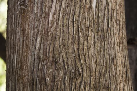 cypress tree bark ridged bark of a mourning cypress tree clippix etc educational photos for students and teachers