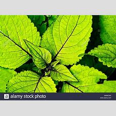 Coleus Plant Stock Photos & Coleus Plant Stock Images Alamy