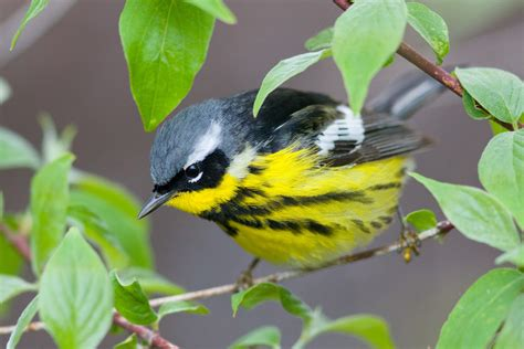warbler, Bird, Birds, Nature, Wildlife Wallpapers HD ...