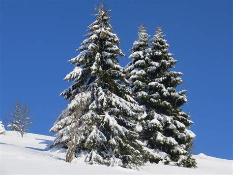 winter tanne schnee kostenloses foto auf pixabay
