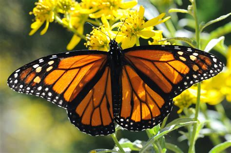 picture monarch butterfly  close macro orange