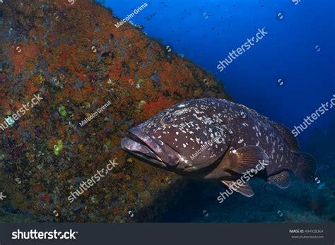 mediterranean grouper shutterstock