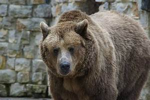 Free photo: Bear, Brown Bear, Grizzly - Free Image on ...  Grizzly