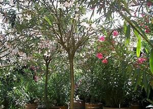 Oleander Zurückschneiden Video : nerium oleander rosenlorbeer k belpflanzen im schlosspark ~ Lizthompson.info Haus und Dekorationen