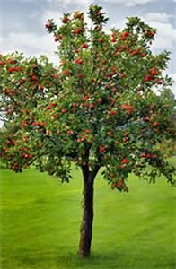 Apfelbaum Schneiden Sommer : schorf pilz am apfelbaum bek mpfen 15 bew hrte mittel ~ Lizthompson.info Haus und Dekorationen