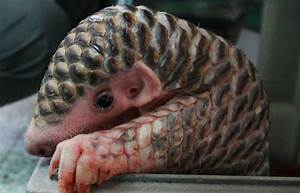 Otters and Science News: BABY PANGOLINS - MEET THESE ...
