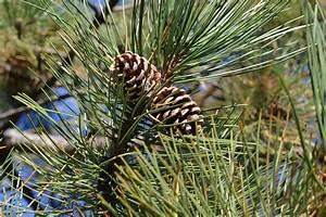 Unterschied Pinie Kiefer : images gratuites arbre la nature for t herbe branche feuille fleur pomme de pin ~ Orissabook.com Haus und Dekorationen