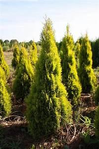 Thuja Smaragd Wachstum : thuja golden smaragd heckenpflanzen online kaufen ~ Michelbontemps.com Haus und Dekorationen