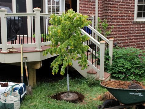 comment planter un arbre en pot plantation d un arbre quand o 249 comment