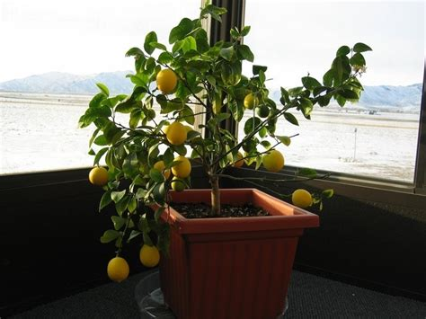 plantfiles pictures meyer lemon tree meyer s lemon tree