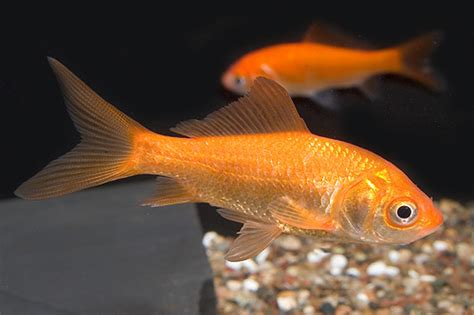Full-Grown Comet Goldfish