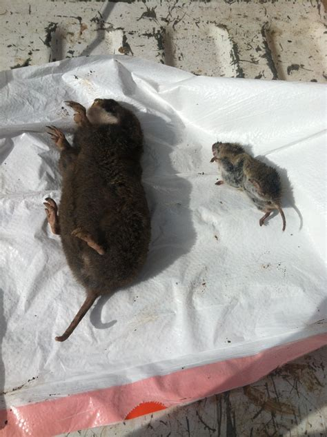 how to get rid of voles getting rid of moles and voles